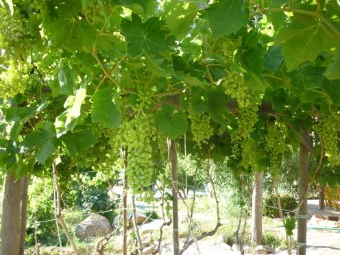 grapes are getting ripen