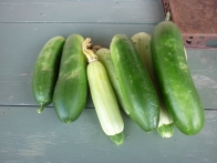 cucumbers and zucchini from my vegetable garden
