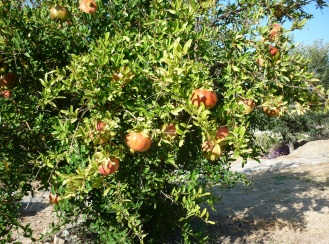 Serifos pomegranates home residency summer