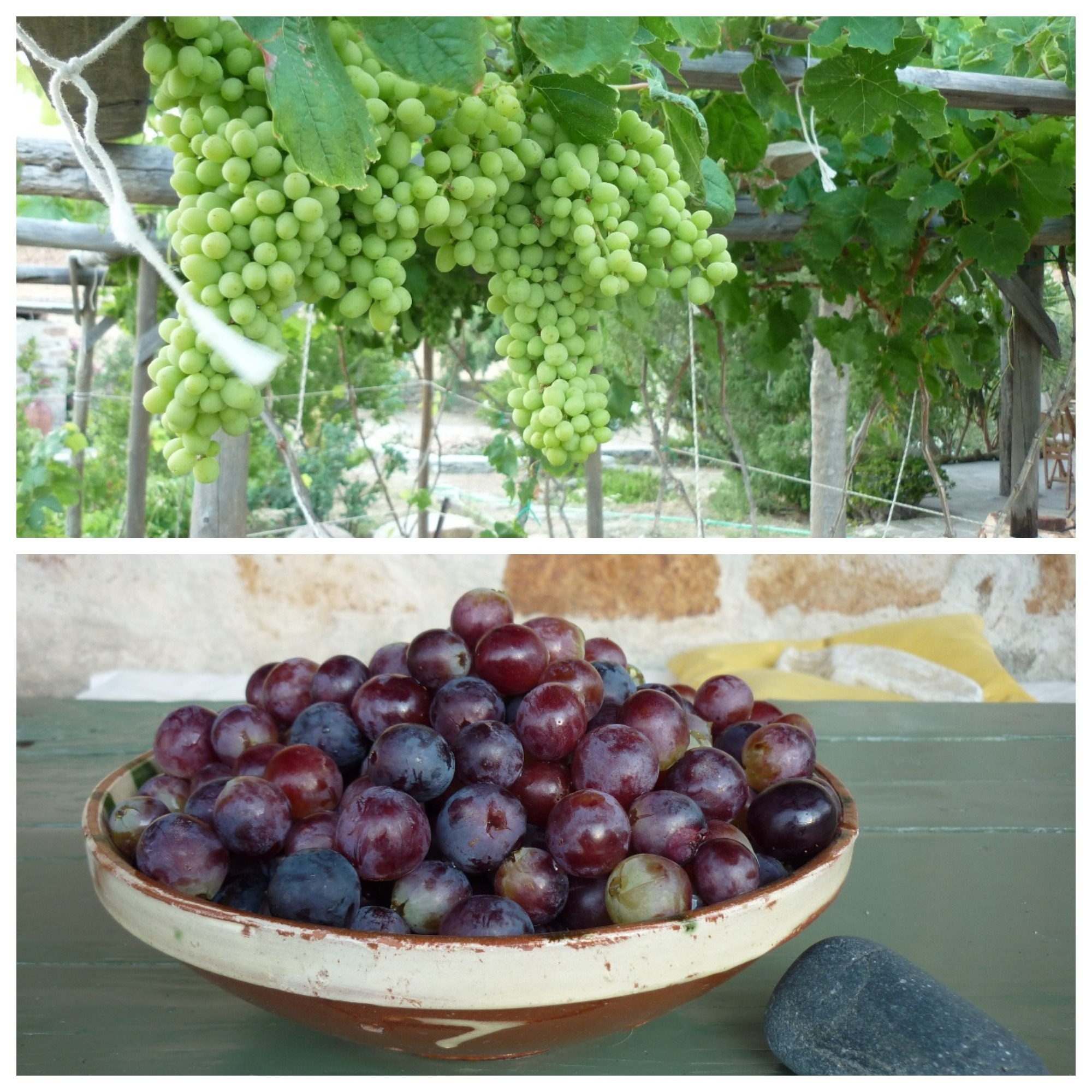Serifos-green-friendly-grapes-Cyclades-eco-rental-home