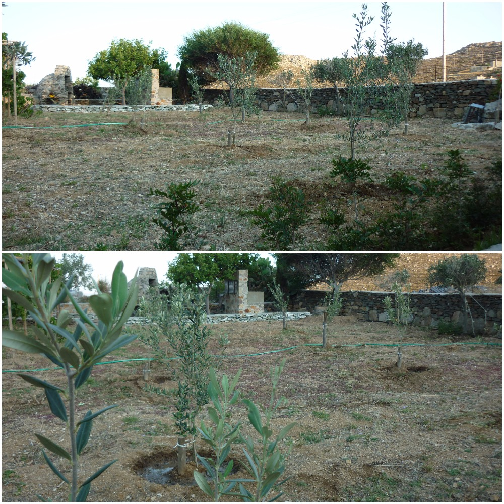 Serifos-green-friendly-home-rental-olive-trees-environment