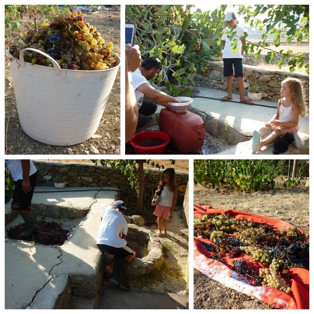 Serifos-green-harvesting-grapes-at-the-writers-home-and-guest-home